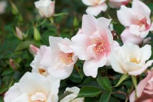 China Rose Flower Essence